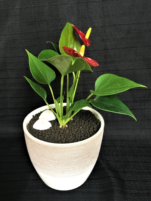 Mini Anthurium